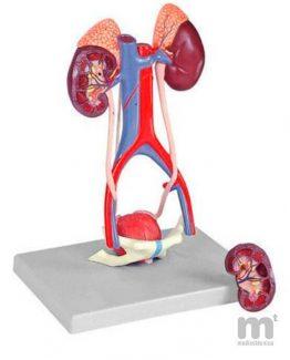 Modelo anatómico órganos urogenitales