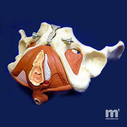 Modelos anatómicos femeninos