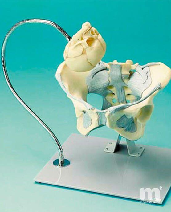 Pelvis femenina cráneo demostración parto