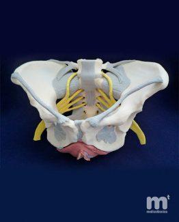 Modelo anatómico de pelvis femenina para enseñanza.