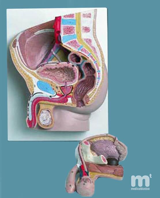Modelo anatómico de pelvis masculina en sección